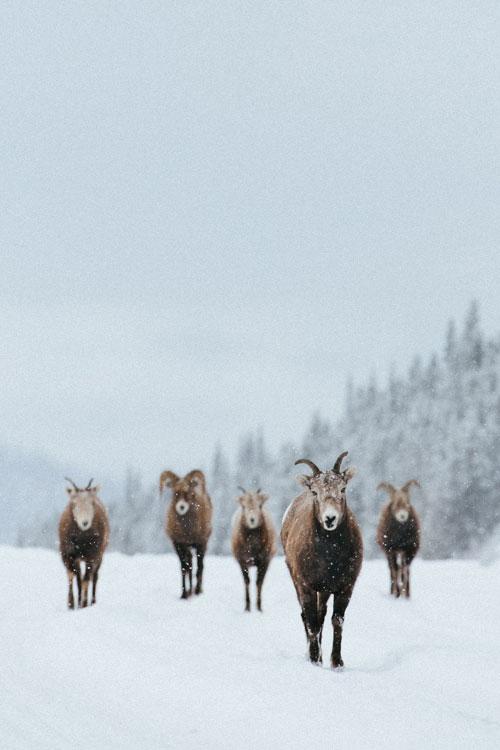 Schapen in Jasper National Park