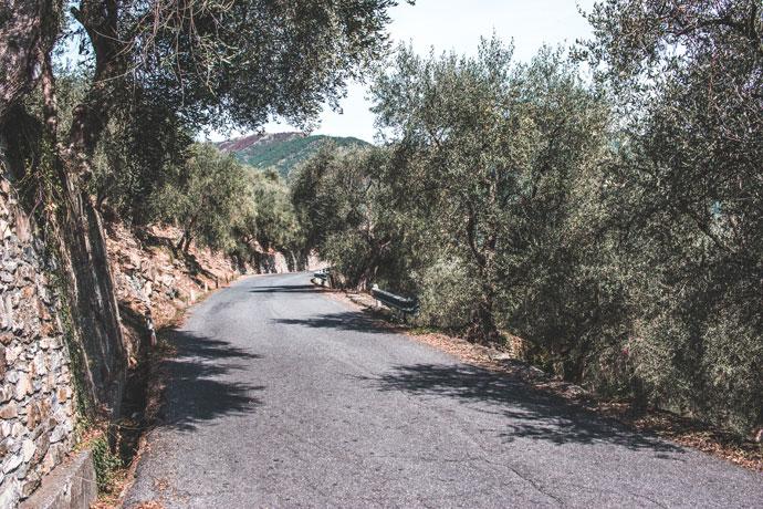Olijfbomen in Ligurïë, Italië