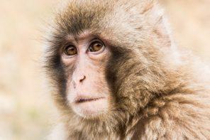 Doen: Sneeuwapen spotten in het Jigokudani Snow Monkey Park in Japan