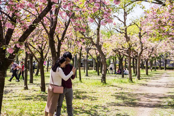 Zo mooi is de kersenbloesem in Japan