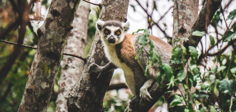 Rinsgaartmaki in Anja Reserve Madagascar