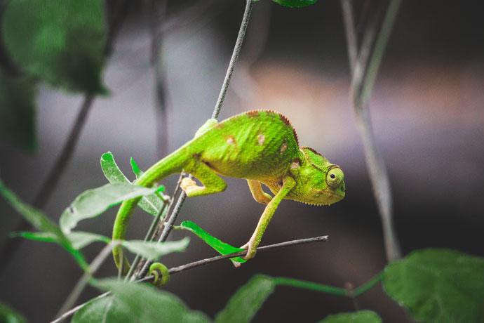 Kameleon in Anja Reserve Madagascar