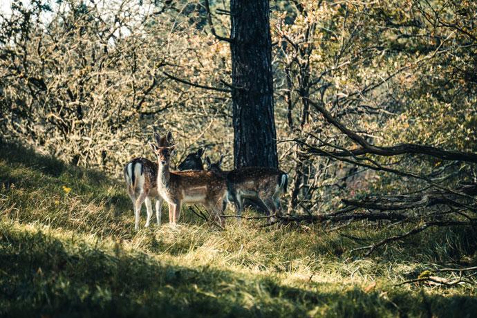 Herten spotten in de Amsterdamse Waterleidingduinen