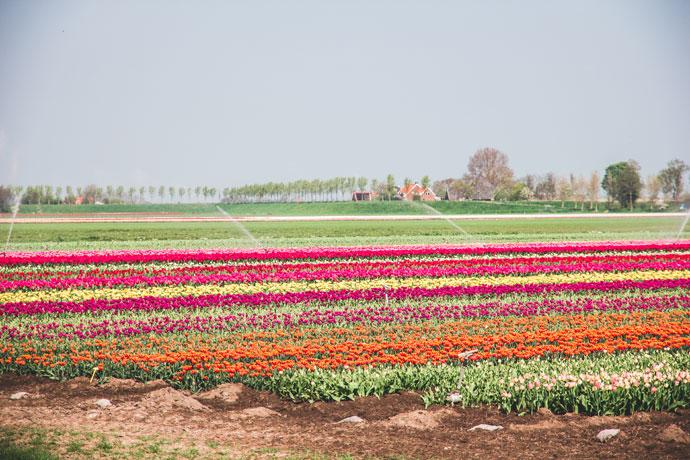 De mooiste bollenvelden van Nederland