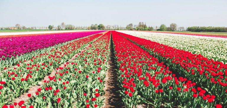 Tulpenvelden bezoeken in Nederland