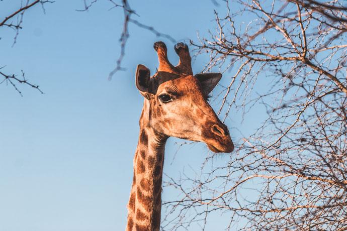 Giraffe, Zuid-Afrika