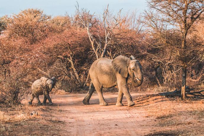 Olifant met jong tijdens een safari in Zuid-Afrika